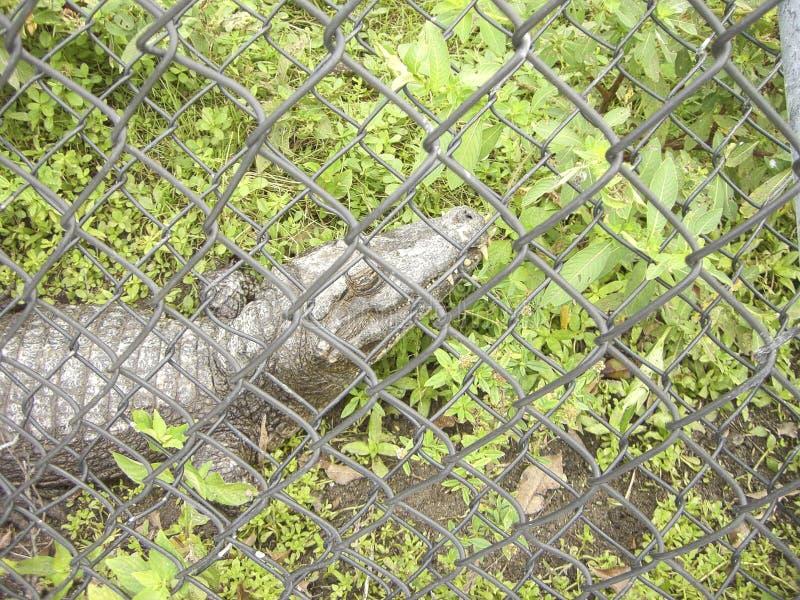 在一只笼子的一条幼小鳄鱼在动物园里 库存图片