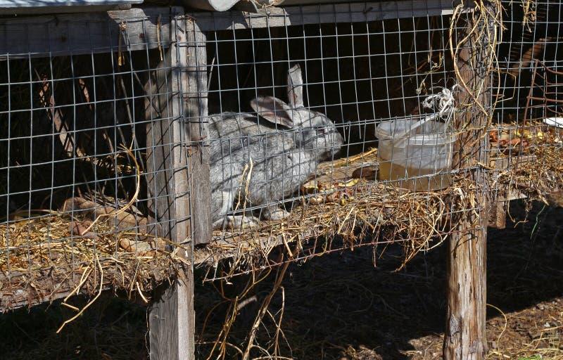 在一只笼子的灰色兔子在农场 免版税库存图片