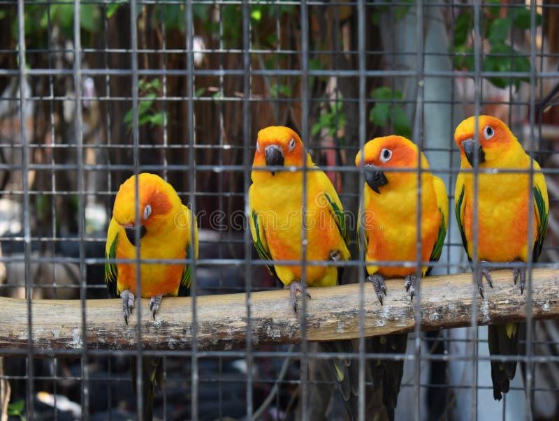 在一只笼子的逗人喜爱的黄色和橙色鹦鹉在公园 免版税库存照片