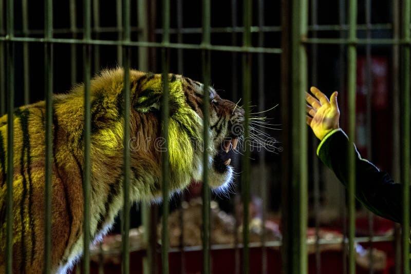 在一只笼子的马戏老虎与更加温驯的放映时间 免版税库存图片
