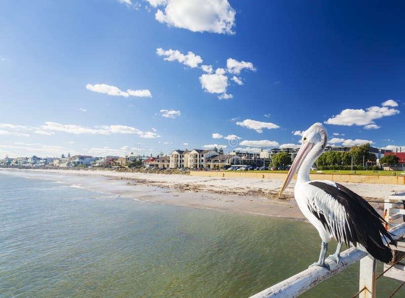 在一只跳船的鹈鹕在阿德莱德的靠海滨的郊区 图库摄影