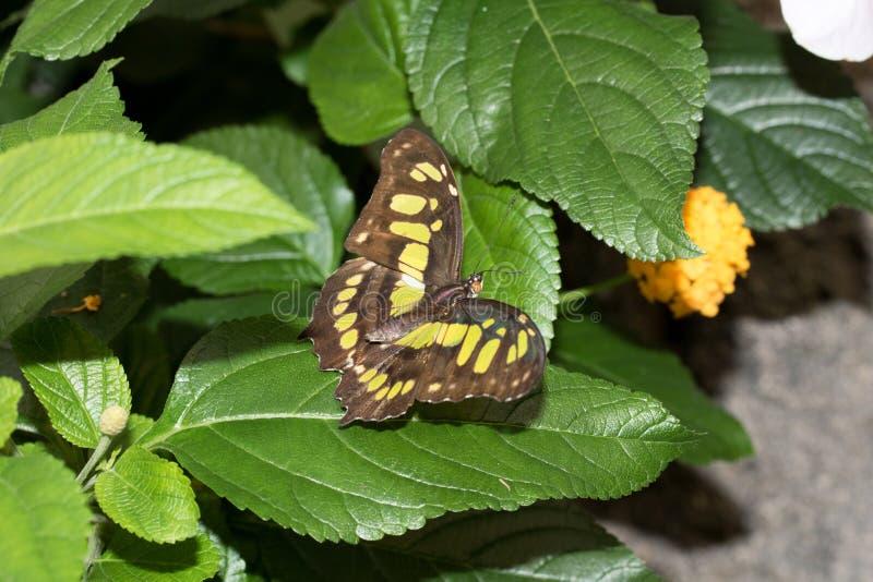在一只黄色闪耀的蝴蝶的顶视图坐有开放翼的一片绿色叶子在emsbà ¼的一间温室ren emsland德国 库存照片