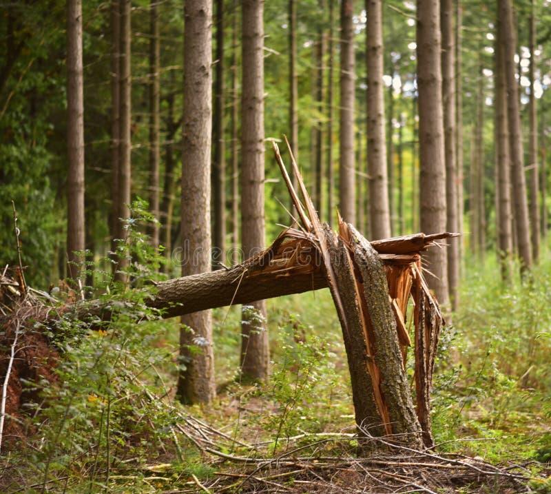 在一场风暴以后的一棵残破的树在秋天季节期间的一个森林里 免版税图库摄影