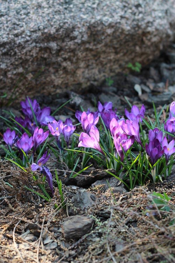 在一块大石头附近增长的紫色snowdrops的水平的计划 下雨 自然 库存照片