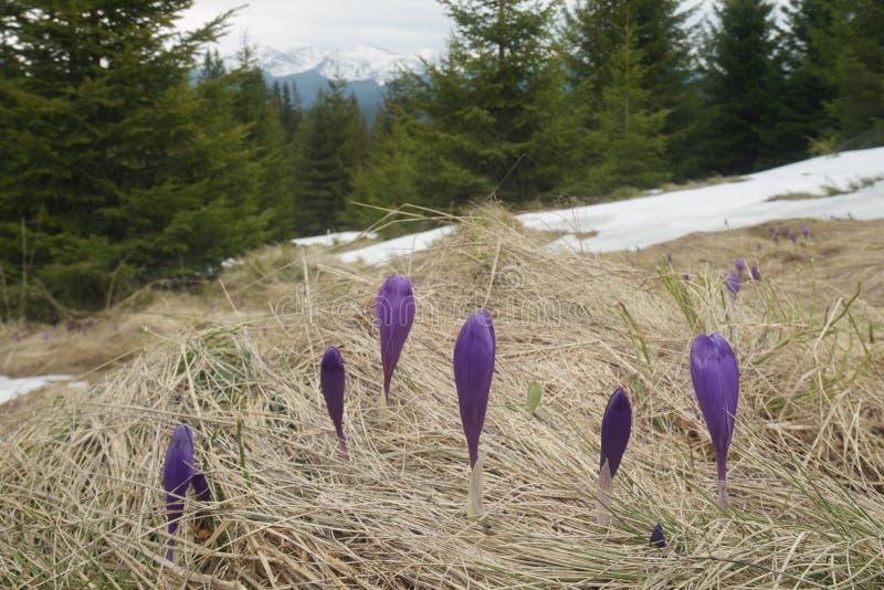 在一块沼地的开花的番红花在森林里 免版税库存照片
