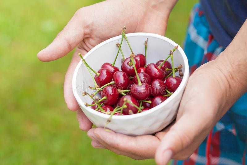 在一块白色板材的成熟樱桃在手中 库存图片