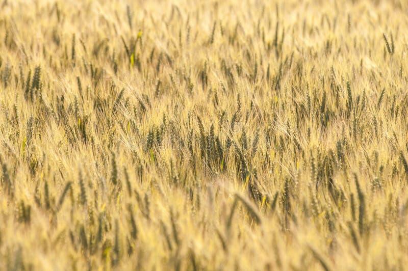 在一块粮田的黄色麦子在夏天 免版税库存图片