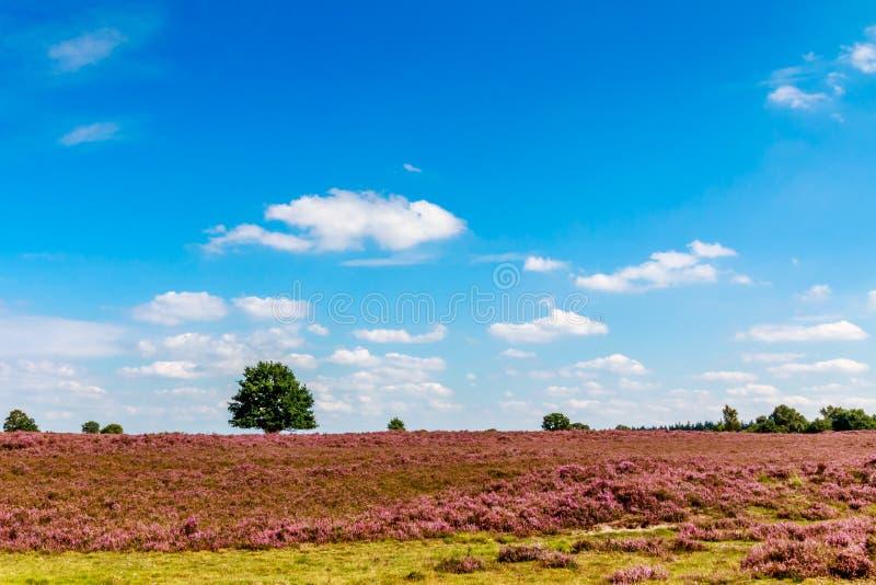 在一块紫色荒地的树与与云彩的蓝天 免版税库存图片