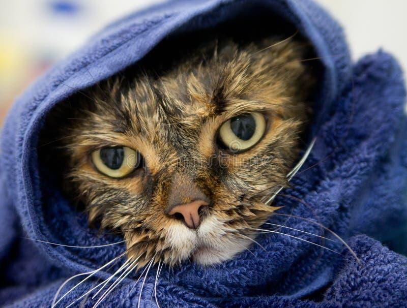 在一块蓝色毛巾的湿猫 图库摄影