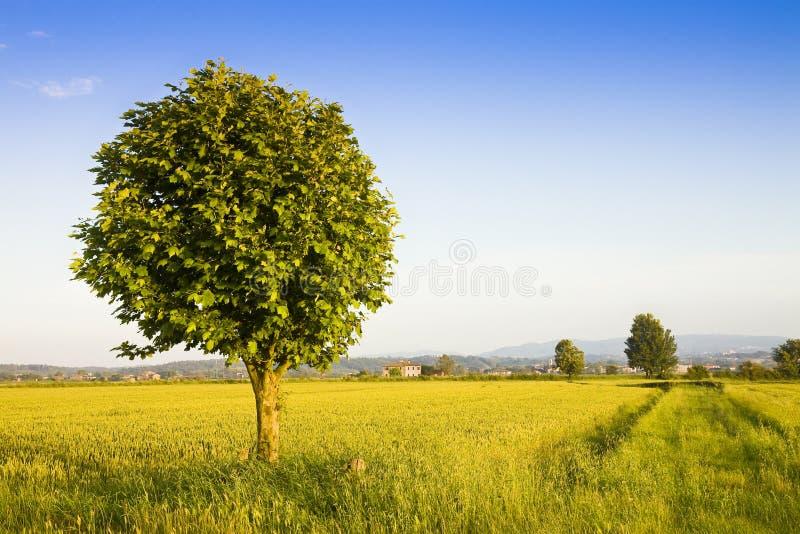在一块金黄托斯卡纳麦田的被隔绝的树-意大利 免版税库存图片