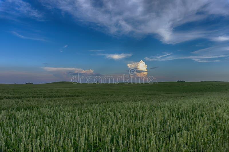 在一块麦田的五颜六色的桃红色云彩在日落 图库摄影