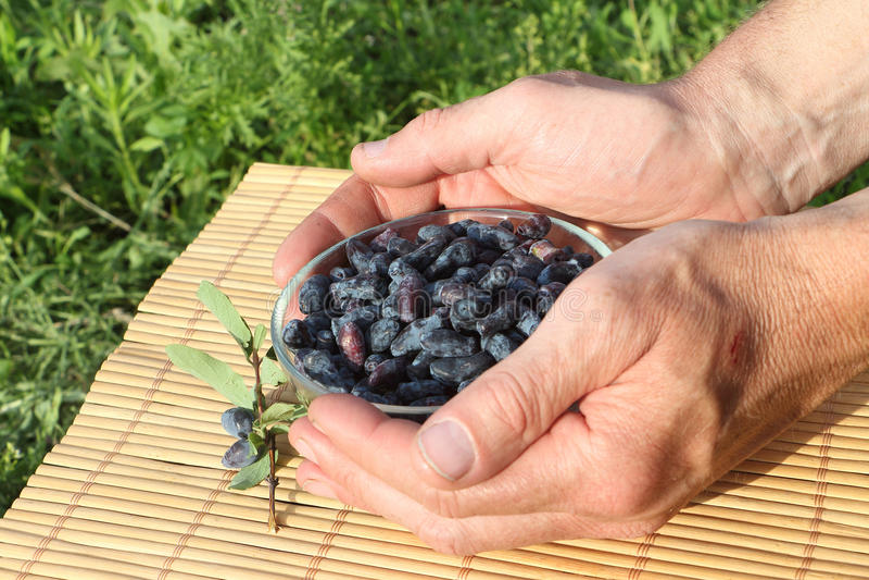 在一块玻璃板的忍冬属植物莓果在男性棕榈 库存照片