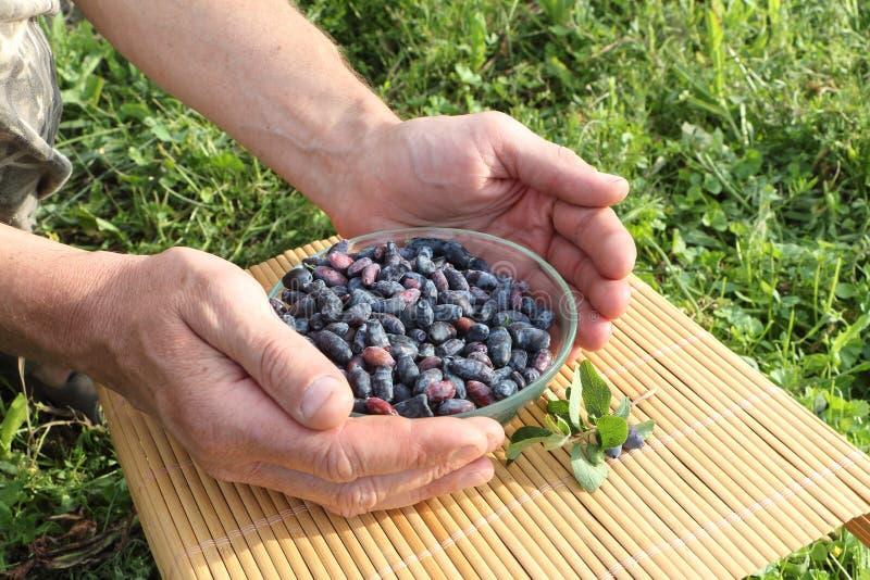 在一块玻璃板的忍冬属植物莓果在男性棕榈 库存图片