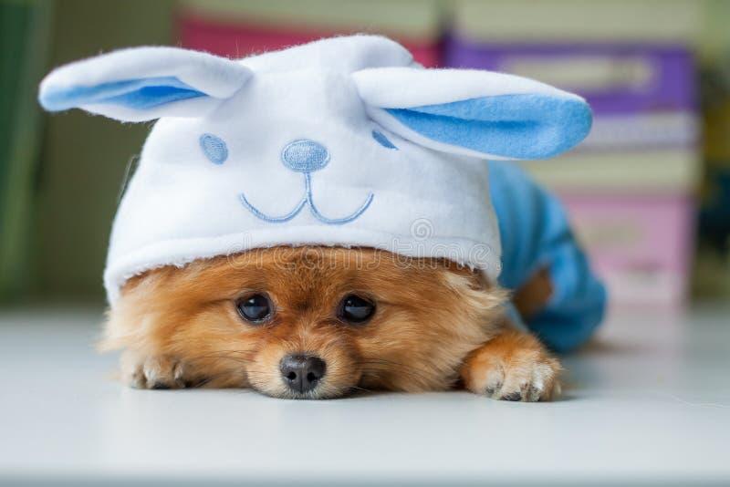 在一套滑稽的兔宝宝衣服的Pomeranian小狗 免版税库存图片