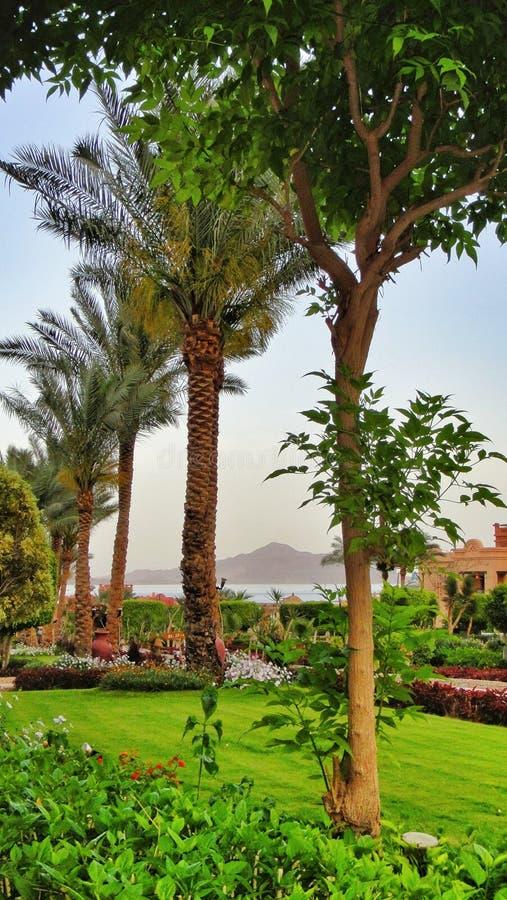 在一家绿色草坪旅馆的棕榈树在埃及 免版税库存图片