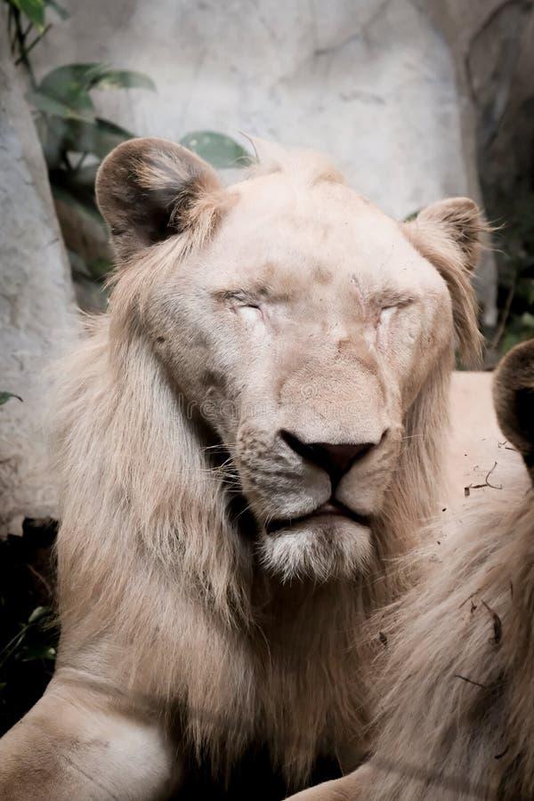在一岩石的一头狮子在动物园 免版税库存照片