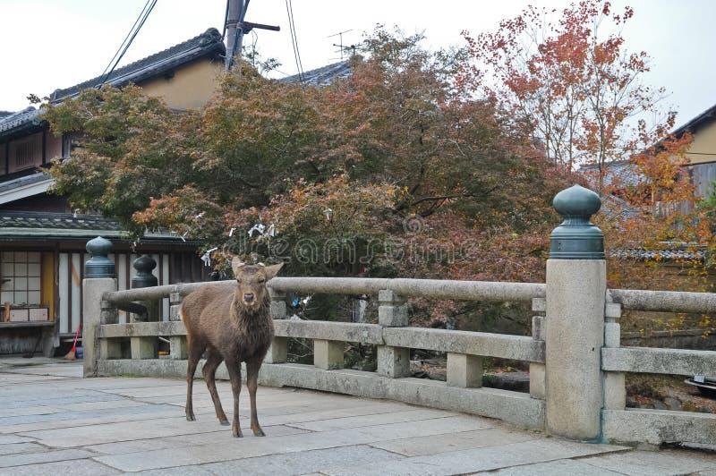 在一座古老石桥梁的日本棕色鹿在奈良日本 库存照片
