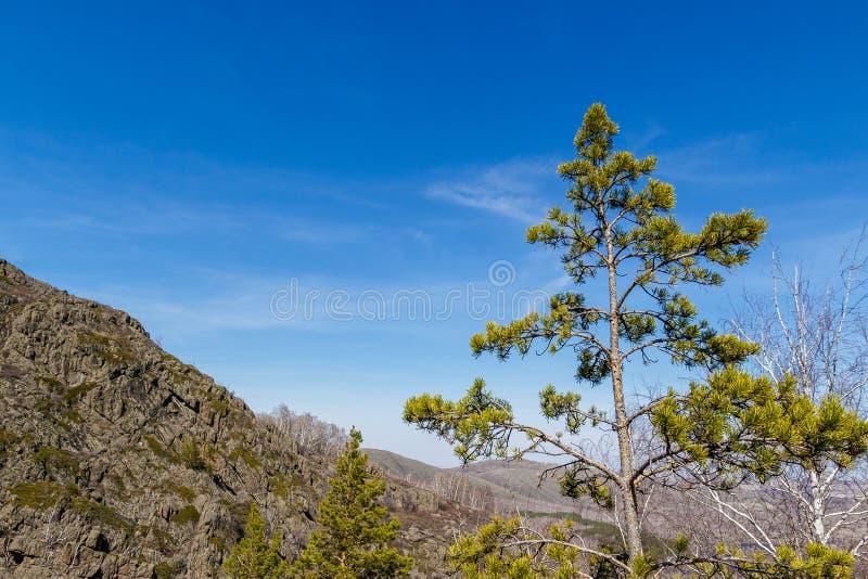 在一座大山的背景的高杉树 库存图片