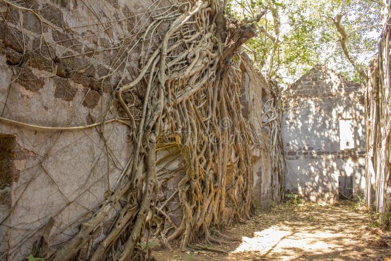 在一座被放弃的古老城堡的一个深堑侧壁上的巨大的榕树在绿色密林 库存图片