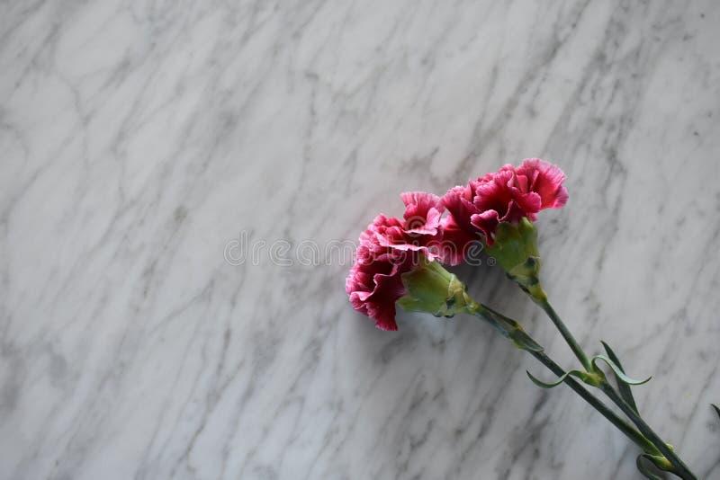 在一张大理石桌上的两支桃红色康乃馨 库存图片