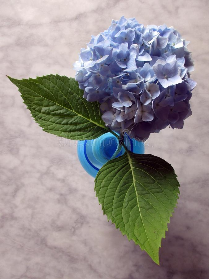 在一张大理石桌上的八仙花属花 库存图片