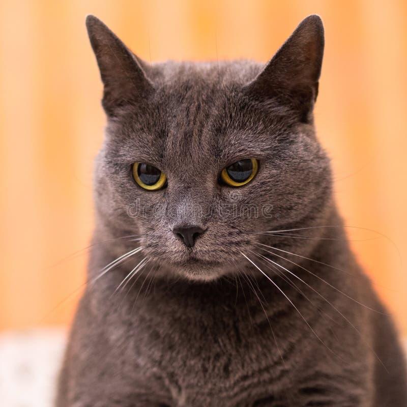 在一张白色床上的苏格兰brittish Shorthair灰色蓝色剧烈的猫 库存照片