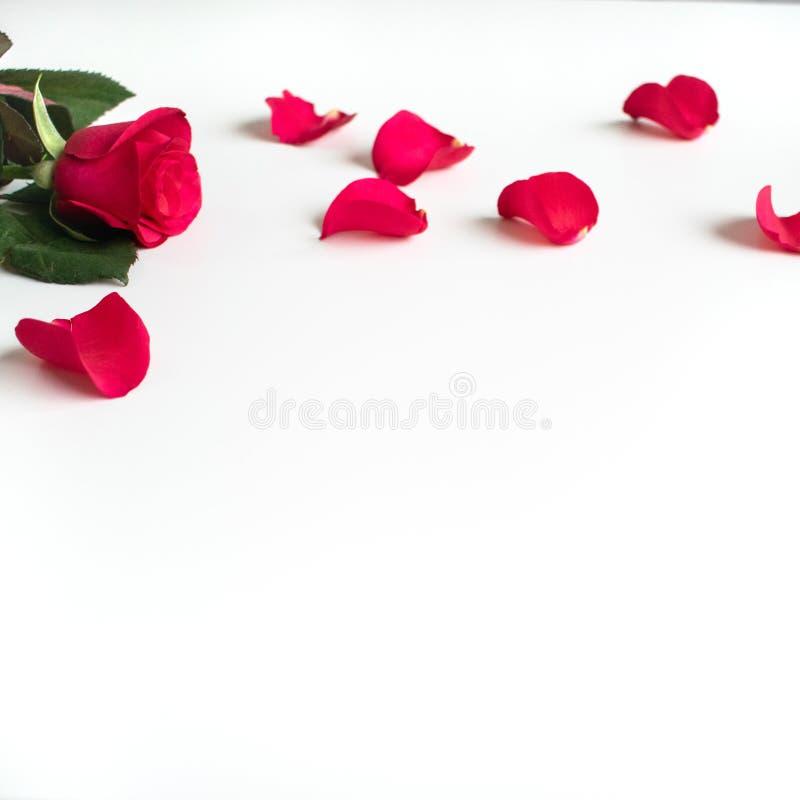 在一张白色桌上的红色玫瑰与红色瓣 免版税库存照片