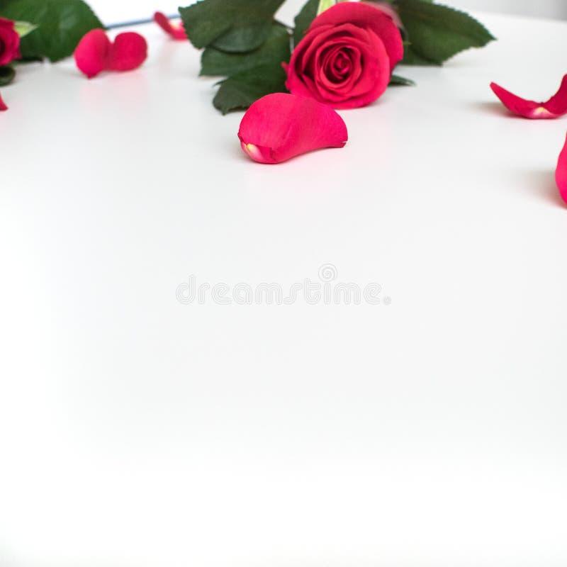 在一张白色桌上的红色玫瑰与红色瓣 库存图片