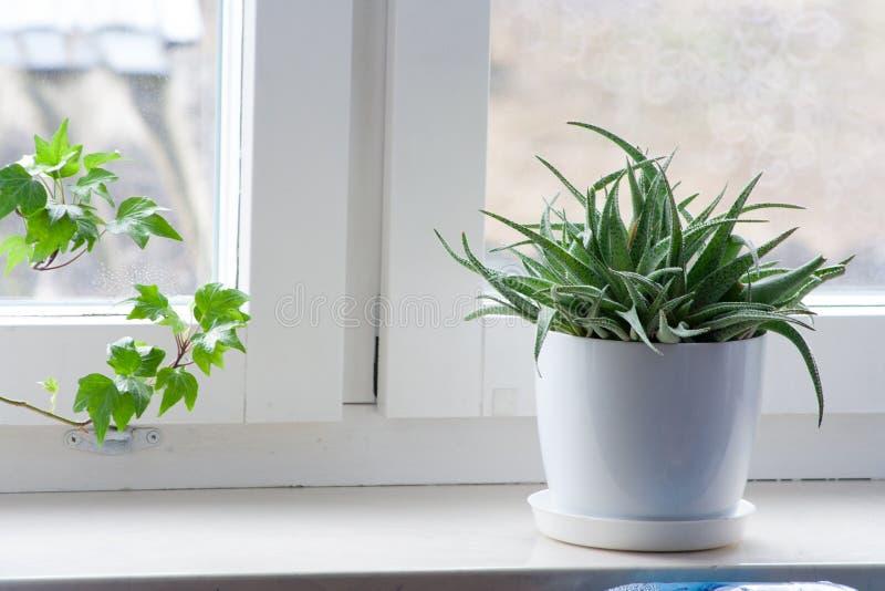 在一张白色花盆的绿色花在窗口基石 免版税库存照片