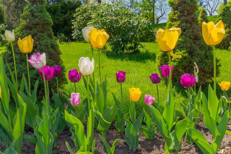 在一张花床上的多彩多姿的郁金香在年轻金字塔形tuja、绿色灌木和树中反对背景明亮 库存照片