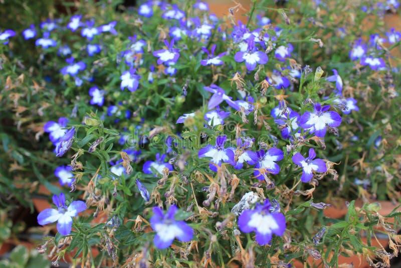 在一张花床上的精美白紫色庭院花在鲜绿色的叶子背景  免版税库存图片