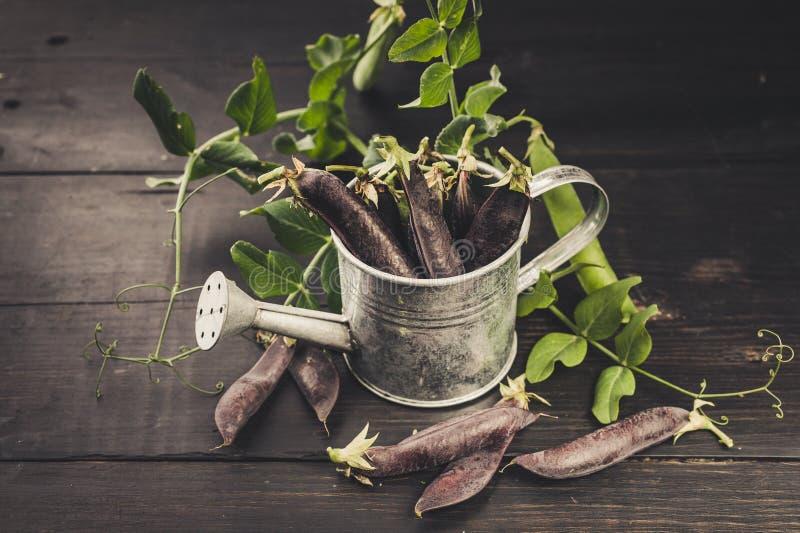 在一把装饰喷壶的黑糖豌豆在黑暗的土气背景 r 农厂有机产品概念 库存图片