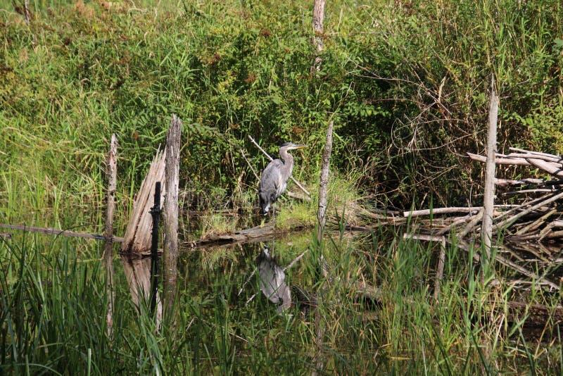 在一本下落的日志的一个伟大蓝色的苍鹭的巢身分 免版税库存照片