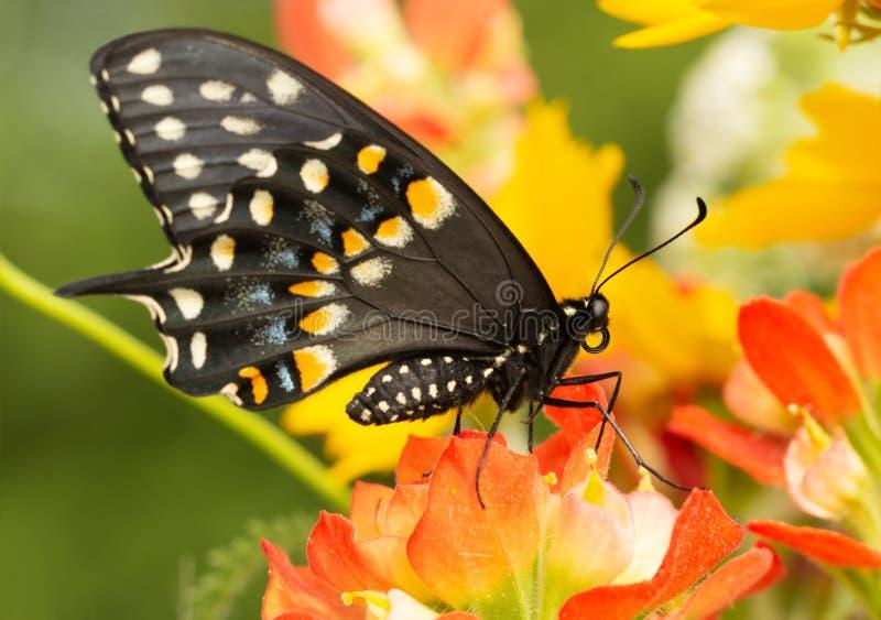 在一朵印度画笔花栖息的黑Swallowtail蝴蝶 库存照片