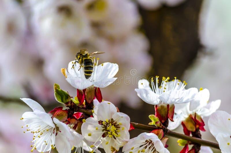 在一朵开花的杏树花的蜂蜜蜂 库存照片