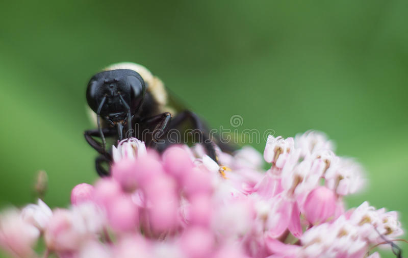 在一朵桃红色花的一只土蜂 库存照片