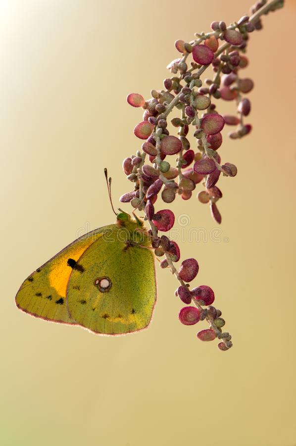 在一朵森林花的蝴蝶Colias hyale在一个夏日 库存图片