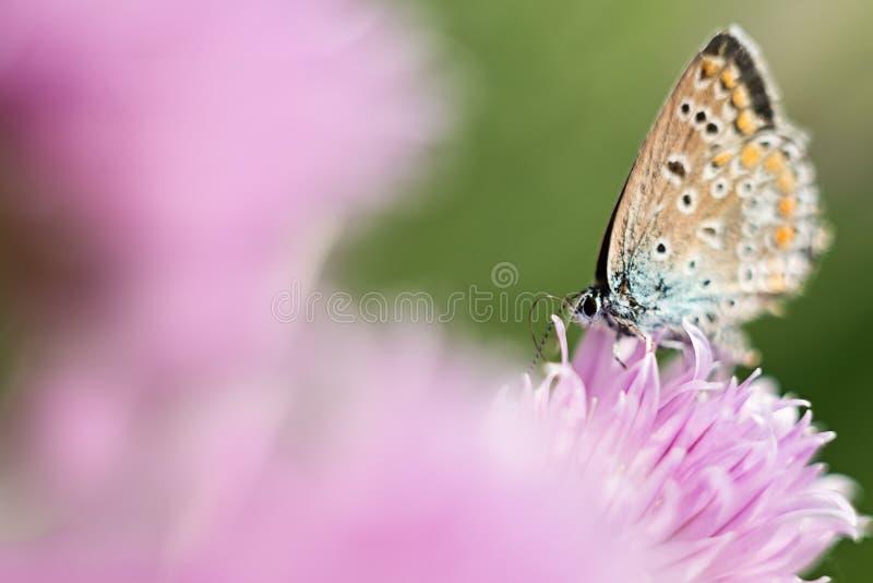在一朵淡紫色花的橙色蝴蝶,宏观射击,夏天好日子 o r bokeh,文本的空间 免版税图库摄影