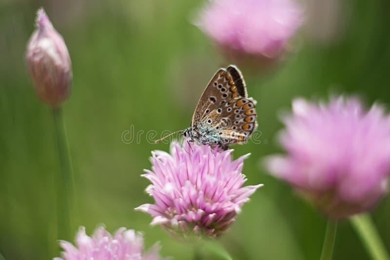 在一朵淡紫色花的橙色蝴蝶,宏观射击,夏天好日子 o r bokeh,文本的空间 库存照片