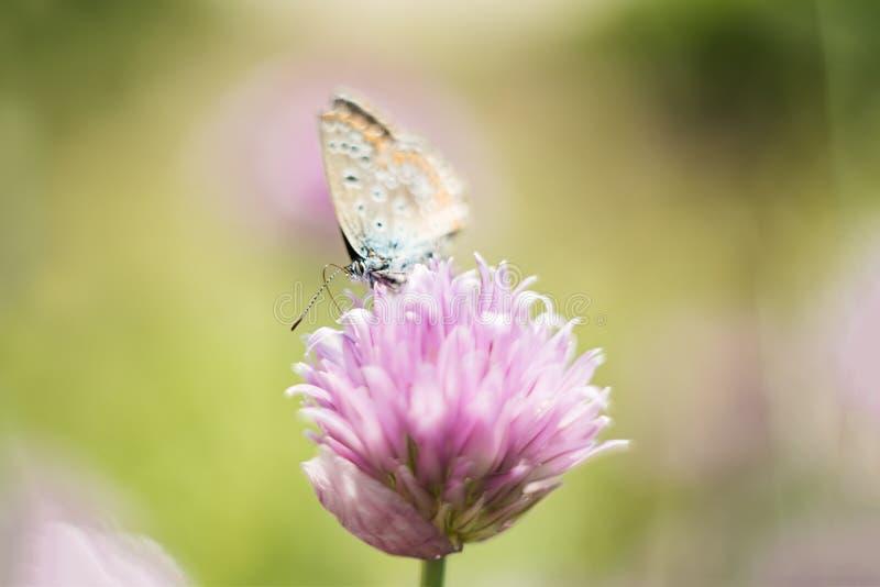 在一朵淡紫色花的橙色蝴蝶,宏观射击,夏天好日子 o r bokeh,文本的空间 免版税库存照片