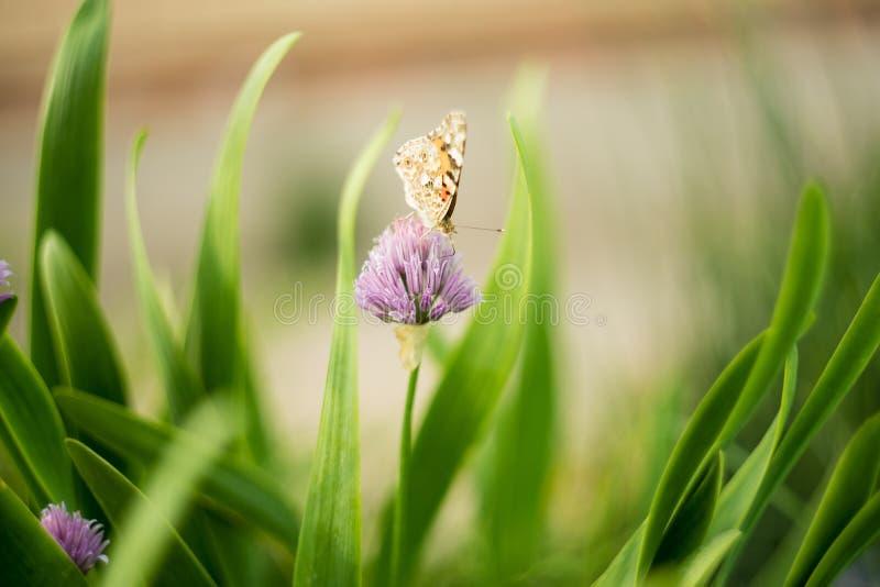 在一朵淡紫色花的橙色蝴蝶,宏观射击,夏天好日子 o r bokeh,文本的空间 免版税库存图片