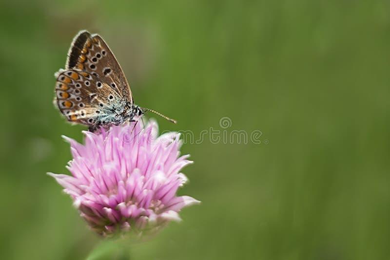 在一朵淡紫色花的橙色蝴蝶,宏观射击,夏天好日子 r 软的焦点,bokeh,文本的空间 免版税图库摄影