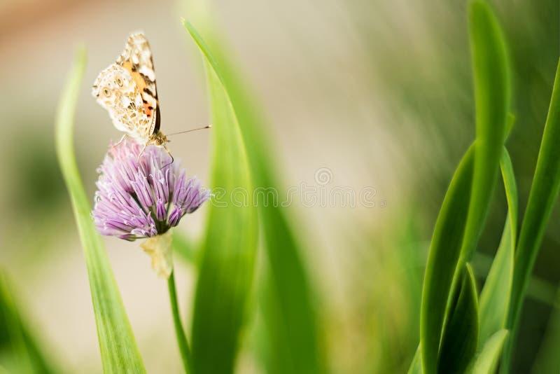 在一朵淡紫色花的橙色蝴蝶,宏观射击,夏天好日子 r 软的焦点,bokeh,文本的空间 库存照片
