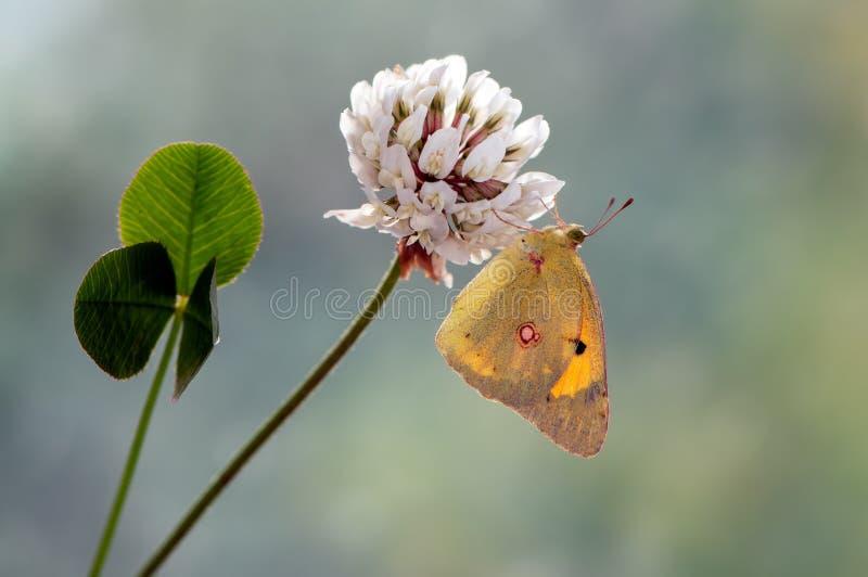在一朵白色森林花的一蝴蝶Colias hyale 库存照片