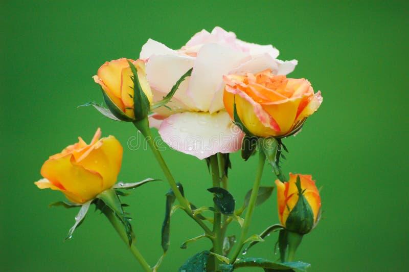 在一朵白色/桃红色玫瑰附近的四(4)金黄玫瑰 免版税库存图片