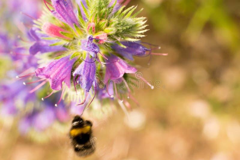 在一朵紫色花的毛虫,在一个晴天,非常小景深 宏观照片 蜂授粉一朵紫色花,  免版税库存图片