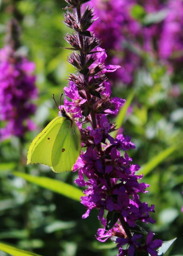 在一朵紫色花的硫磺蝴蝶 免版税图库摄影