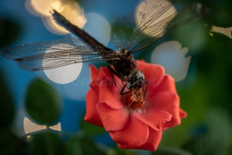 在一朵红色玫瑰的花的蜻蜓 宏观照片.图片