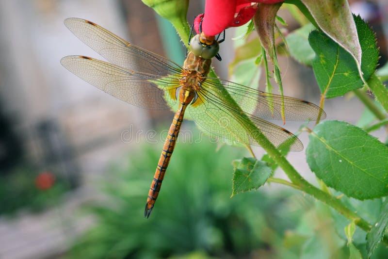 在一朵红色玫瑰的蜻蜓 库存照片