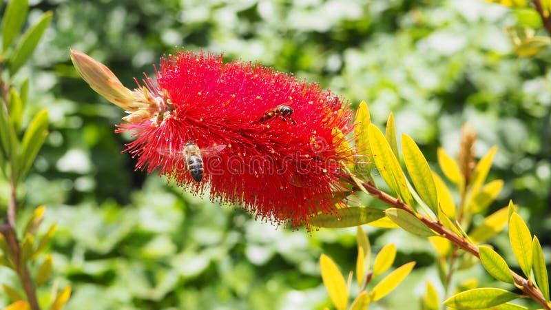 在一朵红色花的一只蜂 图库摄影